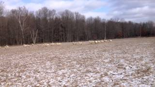 Sheep: fall grazing
