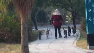 這位大姐在高雄市美術館溜五隻純正台灣犬.