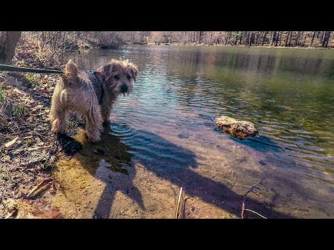 Norfolk Terriers Meeting a Min Pin & Cairn Terrier