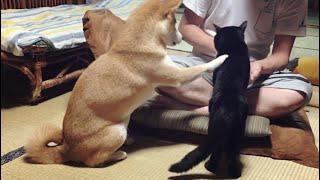 猫の分もお手をする代わりにおやつを多くもらおうとする柴犬 give me paw