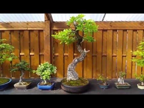 W ogrodzie bonsai p. Marka Gajdy