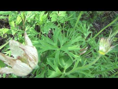 Отцветший подснежник или сон трава кладем под подушку для хороших снов лесные цветы полевые цветы цв