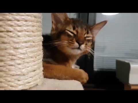 Koda the somali kitten