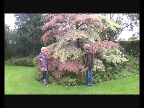Cornus Controversa Variegata Wedding Cake Tree Introduction Youtube