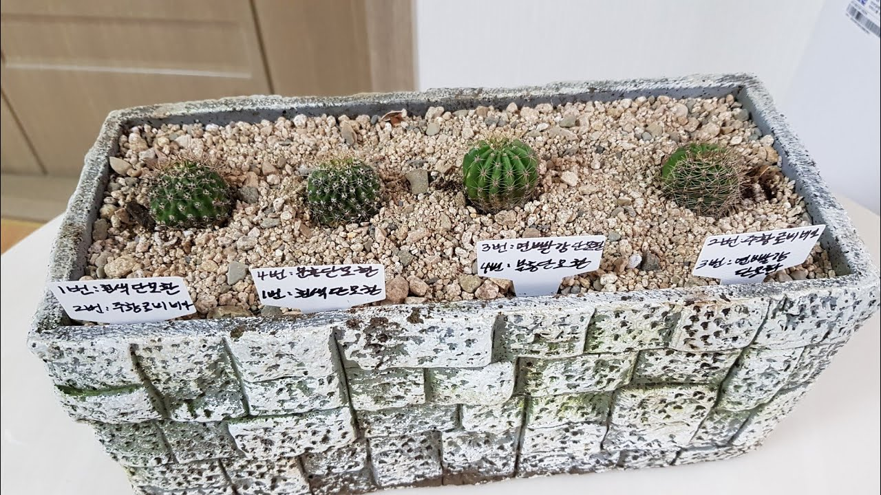 여러종류의 선인장 좌,우 접목한거 붙었을까요? 안붙었을까요? Cactus grafting method