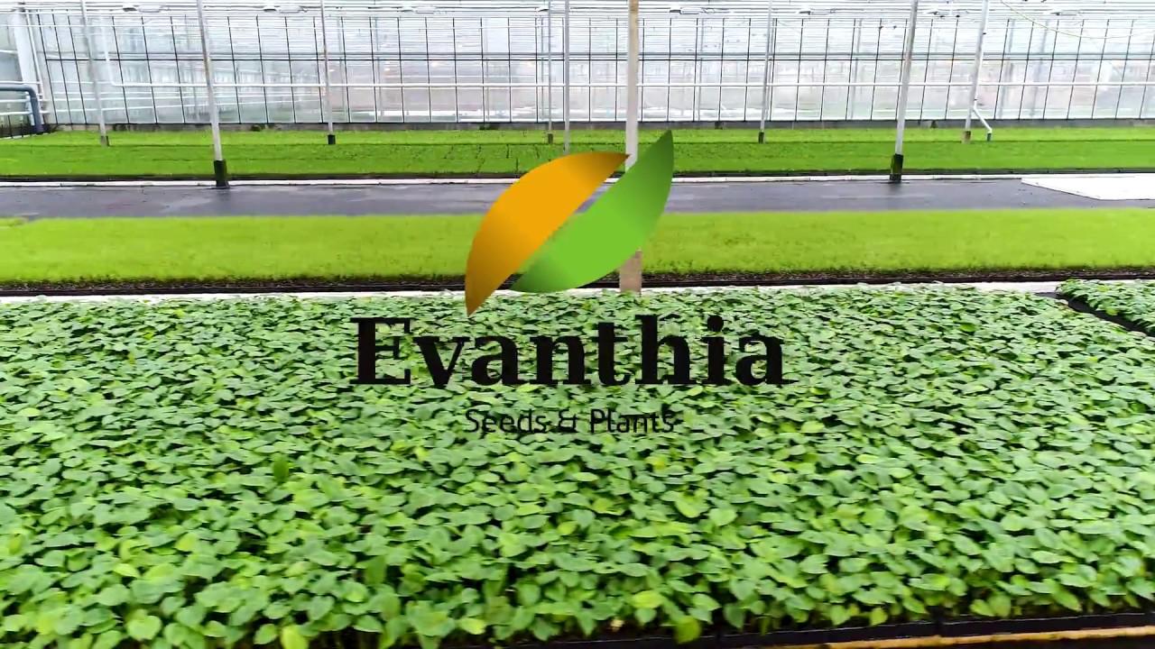 Evanthia Tropical Seeds & Plants