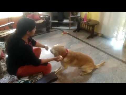 Labrador dog training _Tarikere_ Chikamagalur_ kar
