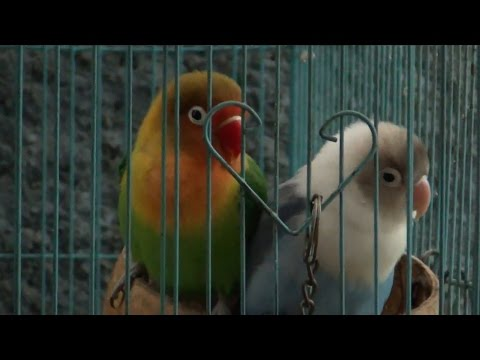 Sounds of Lovebird 1 Hour Live Recording V.2
