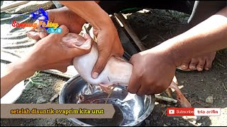 Download Video PEMIJAHAN IKAN LELE ALBINO TEKNIK SUNTIK ( STRIPING ) MP3 3GP MP4