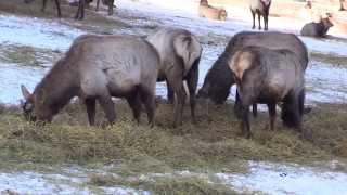 Охота на пятнистого оленя