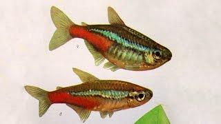 Голубой неон (Paracheirodon innesi) — Аквариумные тропические рыбы № 1