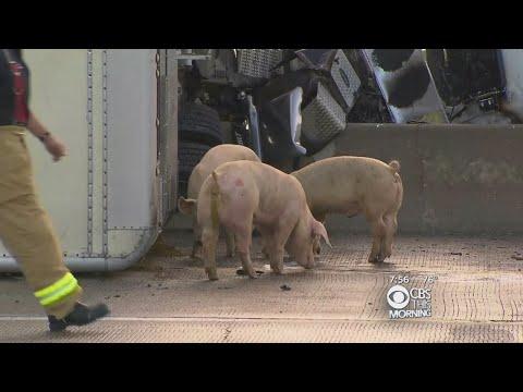 Traffic Alert: Big Rig Carrying Pigs Crashes, Closes I-45