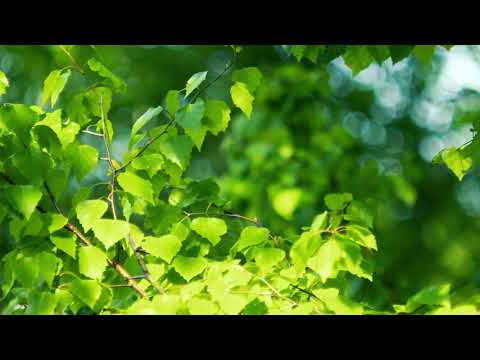 Футаж — Зеленые ветки березы. Березка. Футажи (footage) красивая природа [FullHD]
