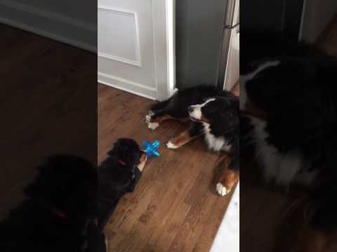 """Bernese Mountain Dog puppy Sage """"sharing"""" toy with her sister Libby"""