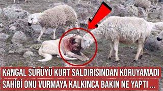 Kangal Köpeği Koyun Sürüsünü Kurttan Koruyamadı, Sonra Bakın Ne Oldu