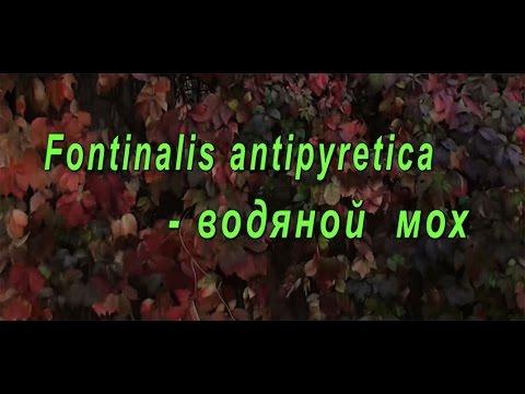 Fontinalis antipyretica - водяной мох для аквариума