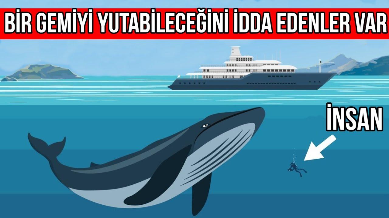 Mavi Balinalar Hakkında Sıra Dışı En ilginç bilgiler | Hayvanlar Alemi