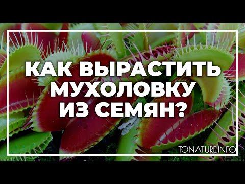 Как вырастить мухоловку из семян? | toNature.Info