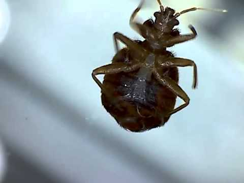Microscopic bed bugs - photo#8