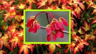 How To Grow Maple Trees From Seeds Acer Tree Japanese Maples