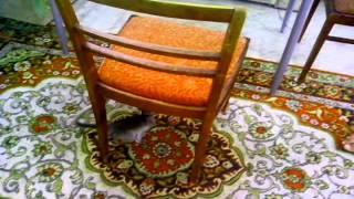 Карликовая мартышка или верветка - ручная