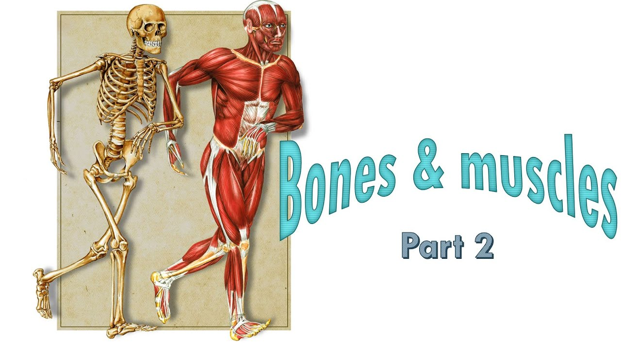 hight resolution of Bones and Muscles - Part 2