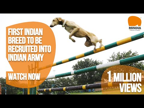 Dogs of honour - Mudhol hounds