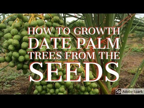 how to growth date palm trees from the seeds / date palm plantation 🏝🏝🏝