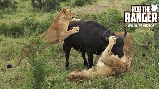Lion Vs Buffalo Encounter! |South African Wildlife In Action