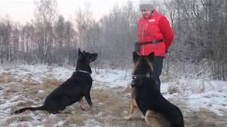 Контакт дрессировщика и собаки через игру
