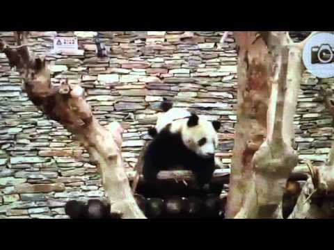 Wolong National Nature Reserve - Panda twins playing