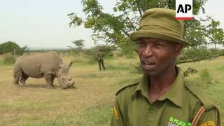All hopes lie on the world's last male northern white rhino
