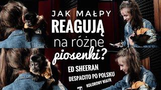 "Jak małpy reagują na ""Despacito"" po polsku? | ft. Kamil - In Travel"