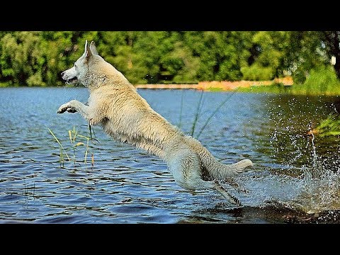 Incredible  Swiss White Shepherd Dogs