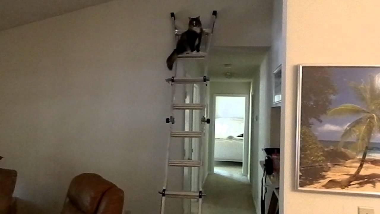 Norwegian Forest Cat -...