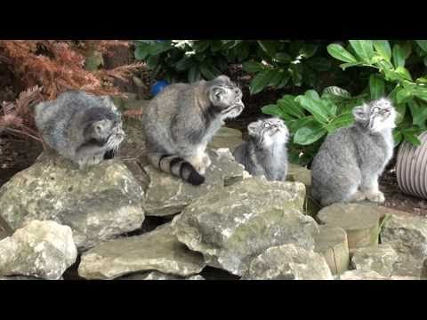 WHF Pallas Cat Kittens 2010 - chillin' at 3 months old