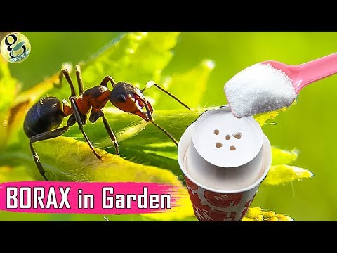 BORAX In Gardening: As A Fertilizer And Ant Control - Borax Ant Bait Recipe