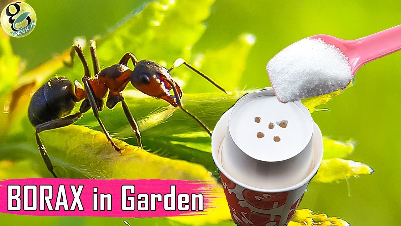 BORAX In Gardening: As A Fertilizer And Ant Control   Borax Ant Bait Recipe