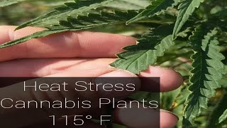 Heat Wave 115 degree Cannabis Grow 2019 Crazy Weather Outdoors