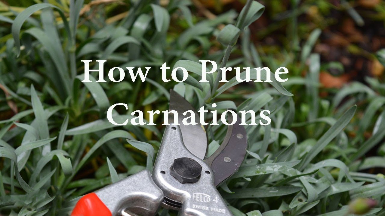 How To Prune Carnations Or Dianthus