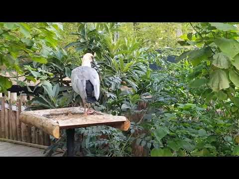 Black-faced ibis
