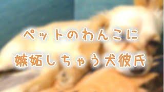 【女性向け】ペットのわんこに嫉妬しちゃう犬彼氏《シチュエーションボイス》