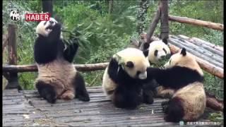 Sevimli pandaların yemek keyfi