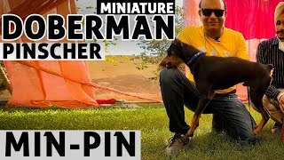 Min Pin  The Miniature Doberman Pinscher | Small Toy Puppy | High Energy Dog Breed | Badal Bhandari