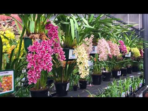 Hoa Lan Melbourne Spring - Garden World Dandenong.