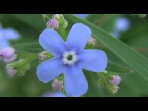 Пенстемон: выращивание из семян, уход, размножение