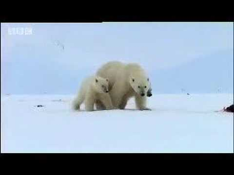 Polar bears search for food - David Attenborough  - BBC wildlife