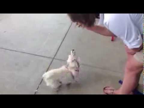 Santa Barbara Shelter Dog--BANANA--Showing Off a Special Skill (circus music)