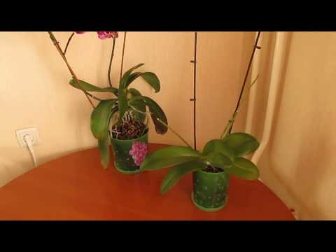 Орхидеи в домашних условиях( уход и как избавиться от тли)