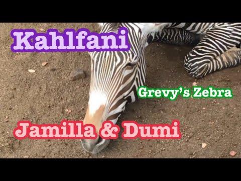 Zebra 🦓Male  Jay シマウマくん ジェイくんは今日も頑張りますw Los Angeles Zoo ロスアンジェルス動物園